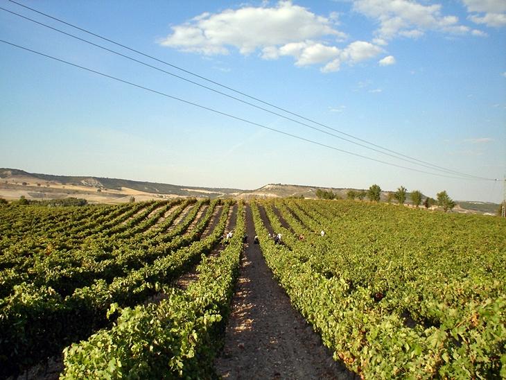 Abiertas las ayudas para la reestructuración del viñedo extremeño