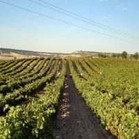 La Junta reitera su rechazo a las restricciones de plantaciones de viñedo para cava