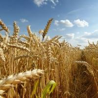 Buscan solución a la baja rentabilidad del cereal en la Campiña Sur