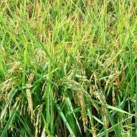UPA-UCE demanda en Madrid medidas para devolver la rentabilidad al arroz