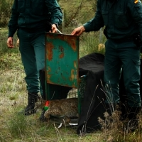 Hallan muerto un ejemplar de lince ibérico en Extremadura