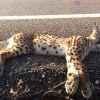 Muere atropellado un lince ibérico en la provincia pacense