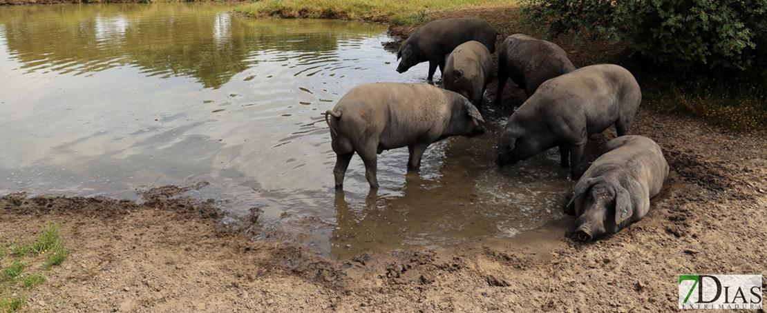 Begoña García anima al sector del cerdo ibérico a seguir trabajando por la internacionalización