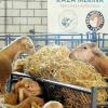 Imágenes de la 32º edición del Salón Ovino de Castuera
