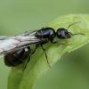 Llegada de hormigas voladoras estos días, ¿qué indica realmente su aparición?