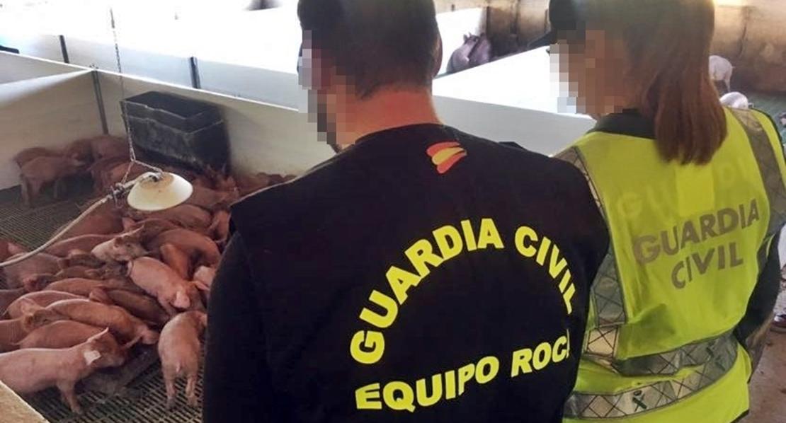 La Guardia Civil desactiva un grupo dedicado al robo de cerdos