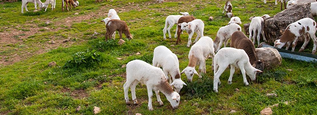 """UPA: """"El 25% de las explotaciones de ovino de leche podría cerrar en 2018"""""""