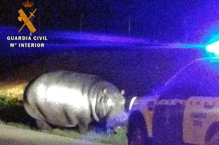 La Guardia Civil intercepta a un hipopótamo en medio del campo extremeño