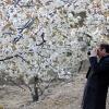 El Jerte prepara una de las explosiones primaverales más bellas del mundo