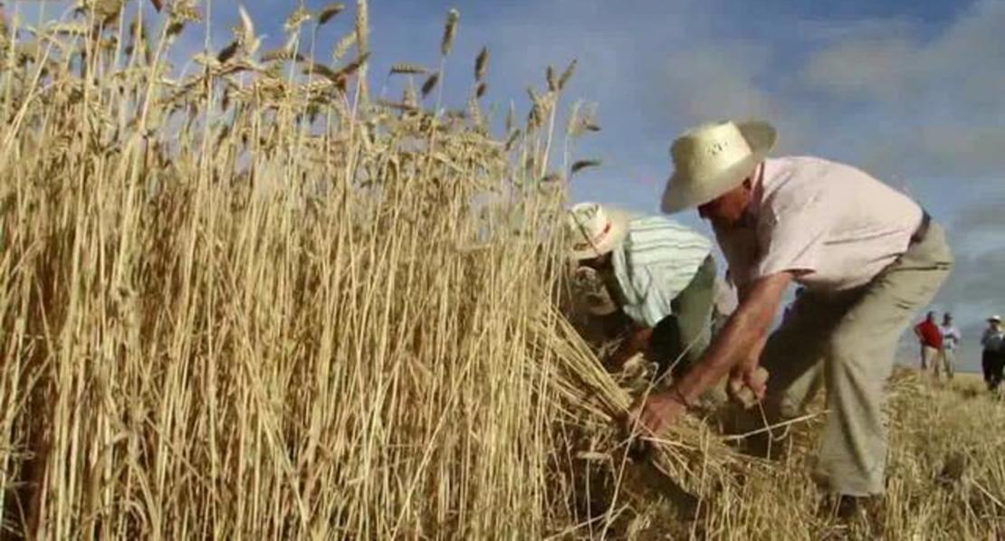 Acusan a la Junta de querer que los agricultores vuelvan a segar con hoces