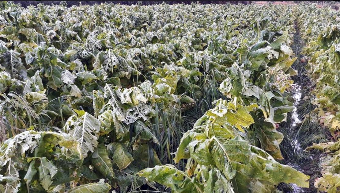Exigen indemnización urgente para agricultores de tabaco y pimentón afectados por la tormenta de granizo