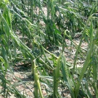 La adversa climatología vuelve a causar daños en los cultivos extremeños