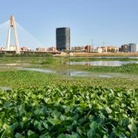 REPOR: Camalote, la planta invasora que mata al Guadiana