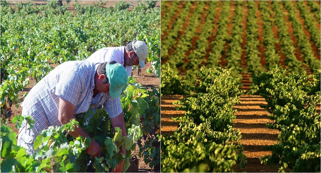 Esta vendimia dará buenos vinos, afirma Ribera del Guadiana