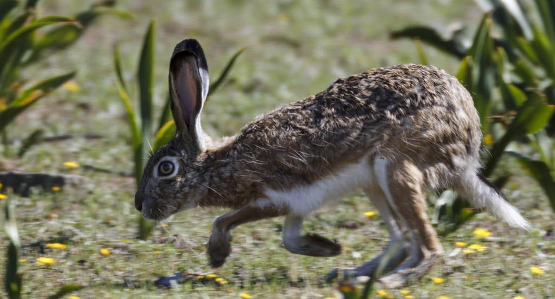 FEDEXCAZA recomienda no cazar liebres esta temporada