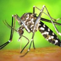 """ANECPLA: """"Hay que prevenir la invasión del mosquito tigre"""""""