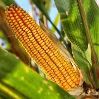 Recomiendan almacenar y no vender el maíz