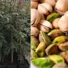 El pistacho extremeño que revolucionará el cultivo