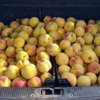 Guardia Civil y Policía Local interceptan 4.500 kilos de fruta robada