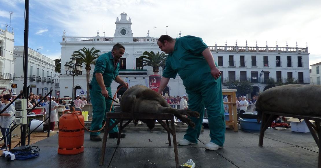 Once cerdos serán sacrificados en la matanza didáctica de Llerena