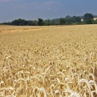 Las condiciones meteorológicas afectan al cereal extremeño
