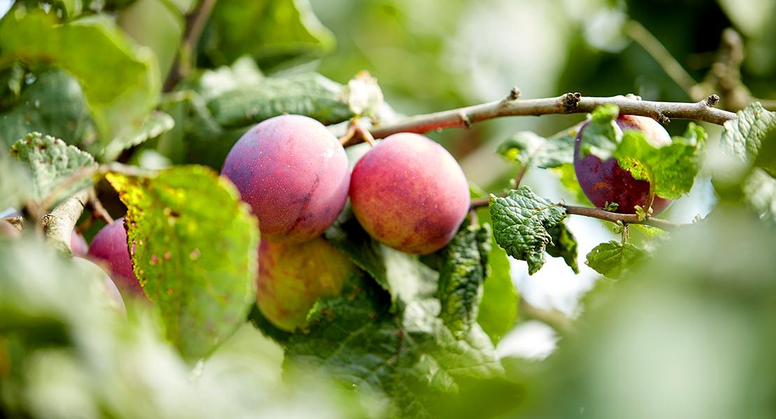 """UPA: """"Los agricultores no pueden entregar su fruta por falta de contratos"""""""