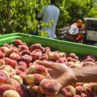 """La Junta convocará una Mesa de la Fruta ante la situación """"catastrófica"""""""