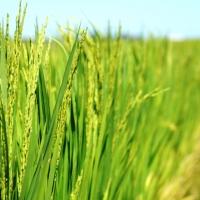 Da comienzo la campaña oficial para el control de la pudenta del arroz