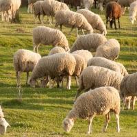 La sequía y los bajos precios asfixian al ovino extremeño