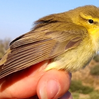 Adenex estudia 105 aves en una nueva jornada de anillamiento en Montánchez
