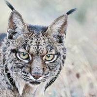 El lince ibérico deja de estar 'en peligro crítico de extinción'
