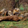 Lobos para proteger el bosque en las comarcas del norte de Cáceres