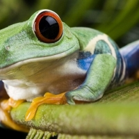 Diseñan 'robots vivos' a partir de células de rana
