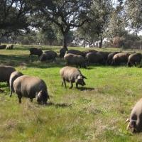 El CENSYRA acoge el próximo martes una nueva subasta de ganado porcino
