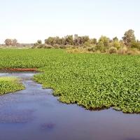 El dragado parcial del río Guadiana a su paso por Badajoz, la opción más viable contra el nenúfar