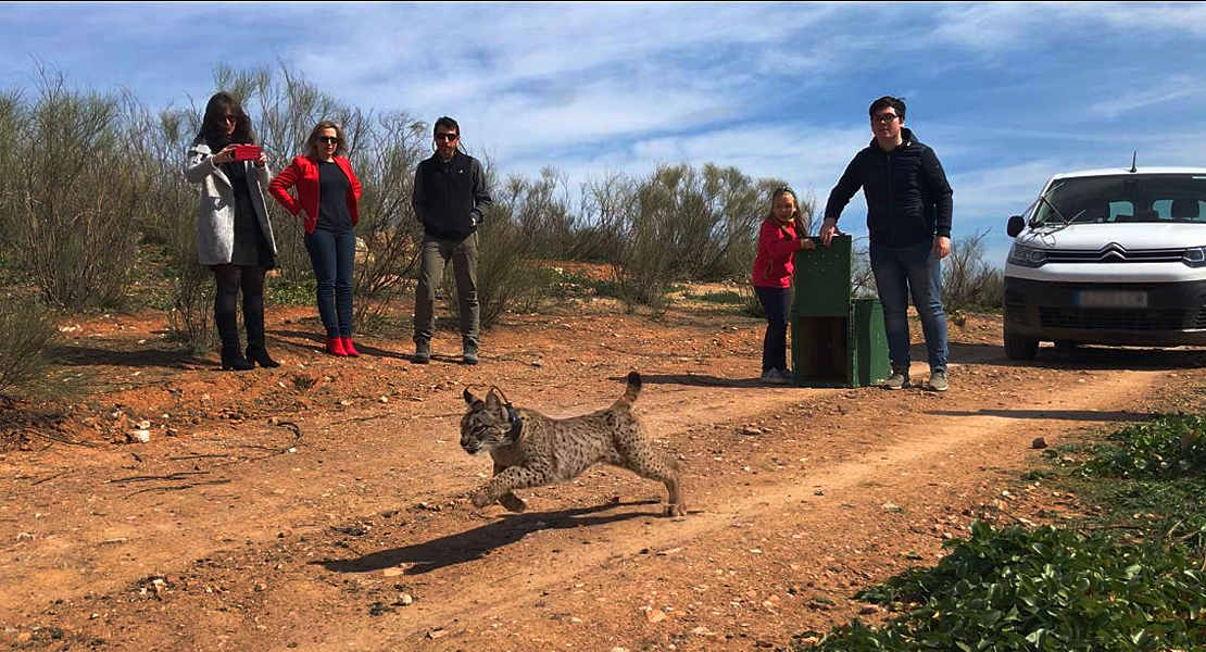 El lince ibérico vuelve con fuerza a Extremadura