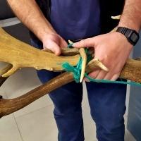 Furtivismo y comercialización ilegal de trofeos de caza mayor en la provincia de Badajoz