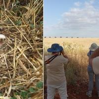 Adenex participa en la campaña de conservación del aguilucho cenizo en Extremadura