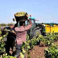 APAG Extremadura Asaja muestra su preocupación por la próxima campaña de la uva