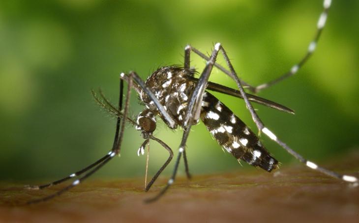 El mosquito tigre prolifera de forma vertiginosa en España