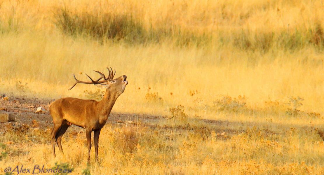 Ecologistas piden que se deje de matar ciervos durante la Berrea en Extremadura