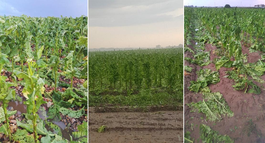 La tormenta arruina cosechas en la provincia de Cáceres en plena campaña de recogida