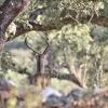 La berrea llena de magia la Sierra de San Pedro