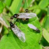 Las 'hormigas voladoras' llegan a Extremadura