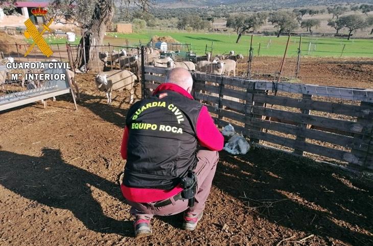 Recuperan un centenar de cabezas de ganado ovino sustraídas de una explotación ganadera extremeña