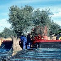 La Junta abona las ayudas al almacenamiento privado del aceite de oliva