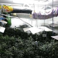 Desmantelan una plantación de marihuana en El Nevero (Badajoz)