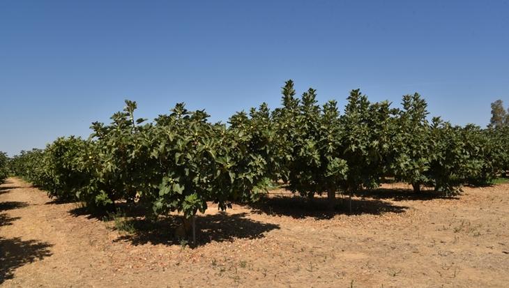 Extremadura participa en un estudio internacional para la selección de variedades de higos