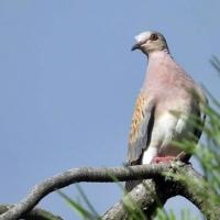 "SEO/BirdLife: ""La política abandona a la tórtola"""