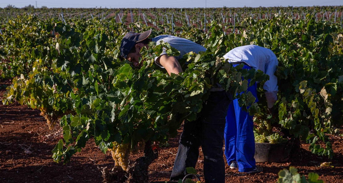 La D.O. Ribera del Guadiana certifica 13.000.000 kg de uva
